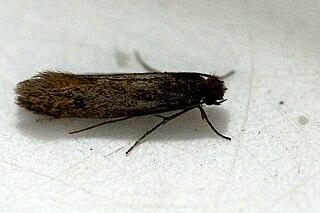 <i>Tinea</i> (moth)