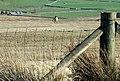 Tinwen y Garn - Wheatear. - geograph.org.uk - 405021.jpg