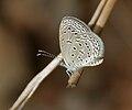 Tiny Grass Blue, Zizula gaika in Hyderabad, AP W IMG 7729.jpg