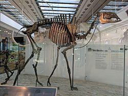Titanotylopus nebraskensis skeleton.jpg