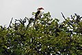 Tockus deckeni, Manyara NP, Tanzania 2012 05 29 (7482100494).jpg