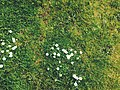 Top view of daisy clump (Unsplash).jpg
