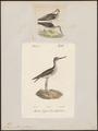 Totanus glottis - 1700-1880 - Print - Iconographia Zoologica - Special Collections University of Amsterdam - UBA01 IZ17400131.tif