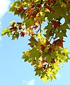 Toulouse Borderouge, feuilles automne.JPG