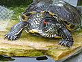 Trachemys scripta elegans in water - adult on stone.JPG