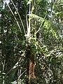 Tree, Brownsberg 2.JPG