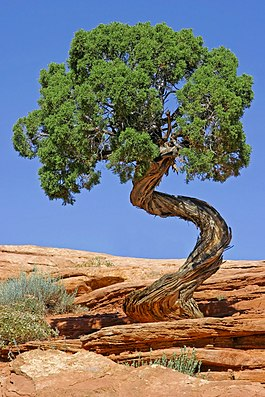 Tree Canyonlands National Park edit.jpg