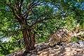 Tree in Tada forest.jpg
