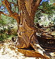 Tree of Many Scars, Oak Creek Canyon, AZ 9-15 (22470503906).jpg