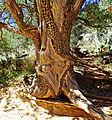 Tree of Many Scars, Oak Creek Canyon, AZ 9-15 (22470503906).jpg
