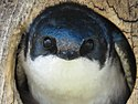 Tree swallow close-up.jpg