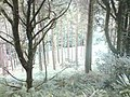 Tree trunks - geograph.org.uk - 1468841.jpg