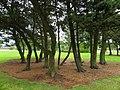 Trees, Coleraine - geograph.org.uk - 2022228.jpg