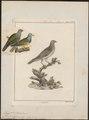 Treron abyssinica - 1790-1832 - Print - Iconographia Zoologica - Special Collections University of Amsterdam - UBA01 IZ15600039.tif