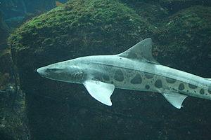 Leopard shark (Triakis semifasciata) at the Mo...