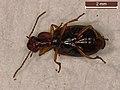 Trichocellus placidus (39860200605).jpg