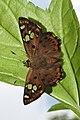 Tricoloured Pied Flat Coladenia indrani by Dr Raju Kasambe DSCN9927 (5).jpg