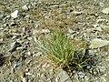 Triglochin maritimum plant (19).jpg