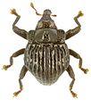 Trigonopterus signicollis holotype - ZooKeys-280-001-g077.jpg