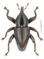 Trigonopterus silaliensis.tif