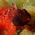 Tripterygion tripteronotus.jpg