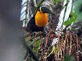 Tucano do Bico Preto Estação Ecológica de Juréia Itatins 2.jpg