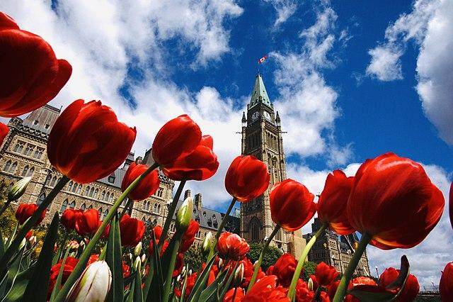 Holandské tulipány