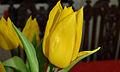 Tulpe mit Mostfliege.jpg