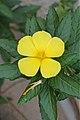 Turnera ulmifolia (Passifloraceae - Turneraceae) (24444421225).jpg