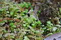 Tylimanthus pseudosaccatus - Acrobolbaceae.JPG