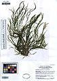 UC1755411 Potamogeton pusillus var. pusillus (5548291600).jpg