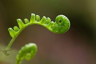 Polypodium glycyrrhiza - Image: USFWS polypodium glycyrrhiza (23748322431)