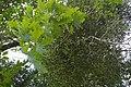 Uchelwydd Viscum album yn tyfu ar dderwen yn Ffrainc, Gorffennaf 2008.jpg