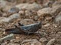 Unidentifed Grasshopper (20439406954).jpg