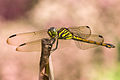 Unidentified dragonfly, Magelang, Indonesia 2015-05-03.jpg