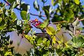 Unidentified hummingbird by Pete Gregoire (9363268658).jpg