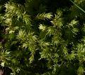 Unidentified moss - Flickr - S. Rae (2).jpg