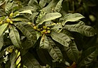 Unripe fruits of Myrica esculenta Box myrtle tree JEG5542.jpg