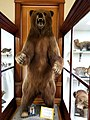 Ursus arctos middendorffi - Pember Library and Museum - Granville, New York - 20180224 141331.jpg