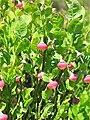 Vaccinium myrtillus. Arandanera.jpg