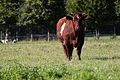 Vache armoricaine, Écomusée du pays de Rennes, France.jpg