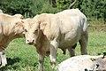 Vaches à Mailleroncourt-Saint-Pancras en 2013 1.jpg