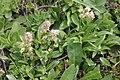 Valeriana celtica (Echt-Speik) IMG 2616.jpg