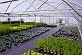 Van Arnham Nurseries Superbay Polytunnel.jpg