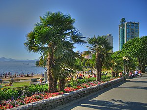 Trachycarpus fortunei - Windmill Palms at English Bay in Vancouver, British Columbia