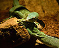 Varanus prasinus Zoo Amneville 28092014 1.jpg