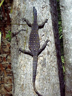 Goanna - A lace monitor (V. varius) in Byfield National Park