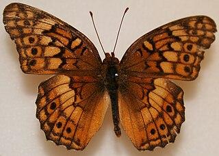 <i>Euptoieta claudia</i> species of insect