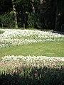 Verblühende Tulpen (7).jpg