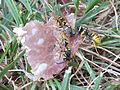 Vespula germanica Burano 03.JPG